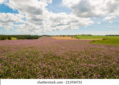 Field of clover flowers in bloom (Green Gables Shore; Prince Edward Island; Canada)