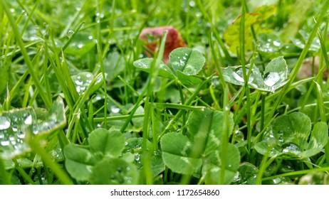 Field of clovers