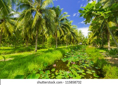 Field of coconut trees in thailand