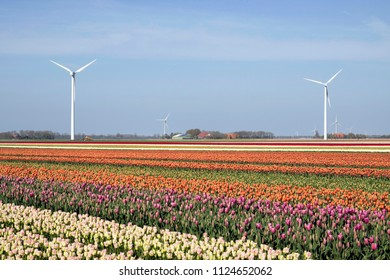 Field with colored tulips with windmills in the background