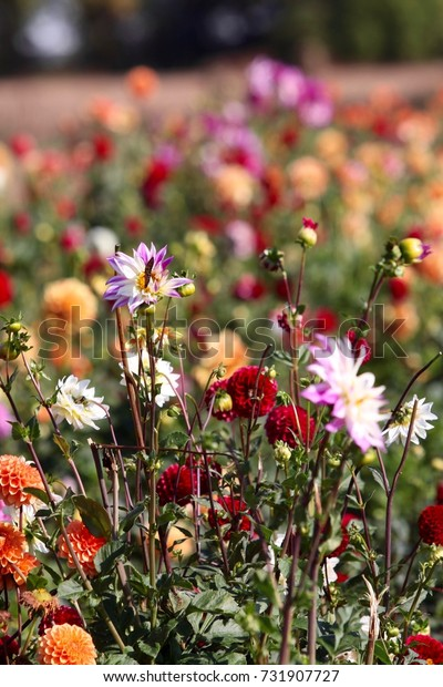 A field of colorful dahlia wildflowers