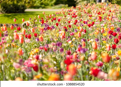 Field with colorful Dutch flowers in closeup. Blurry and dreamy