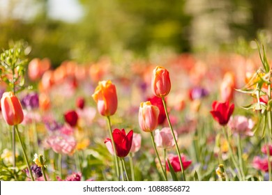 Field with colorful Dutch tulips in closeup and blurry background