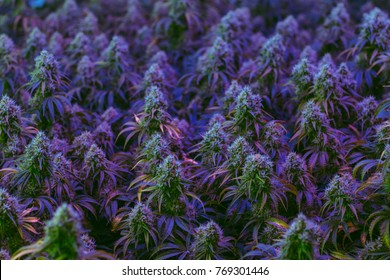 Field of colorful maturing indoor medical marijuana plants