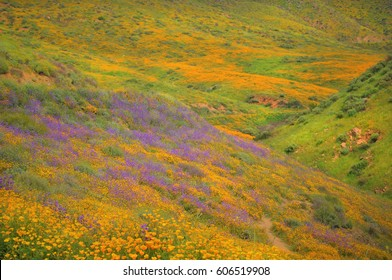 Field of colorful poppies