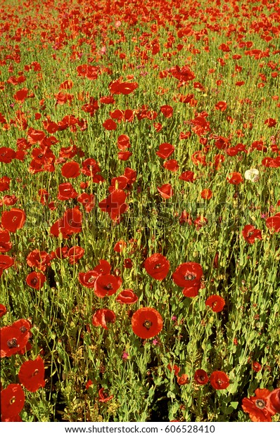 Field of colorful red Poppies