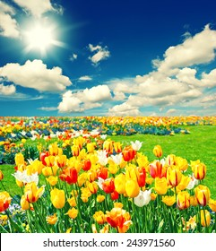 Field with colorful tulip flowers. Landscape with sunny blue sky