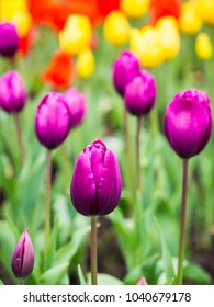 Field of colourful tulips in Portugal. Soft selective focus.
