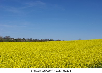 A field of colza in Brittany