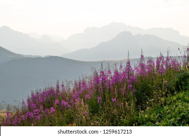Field of common Fireweed (Chamaenerion angustifolium) wildflowers, also known as Rosebay willowherb, with silhouettes of mountain ridges in background, in Passo di Giau, Dolomites, Italy