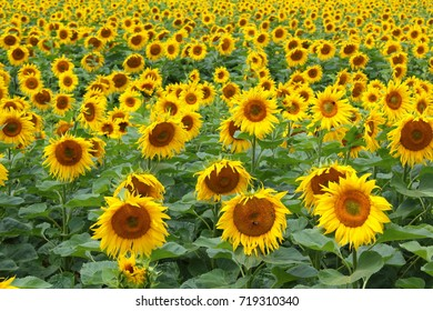 field with common sunflowers (Helianthus annuus) in flower
