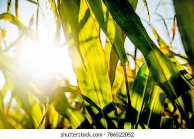 field of corn in back light