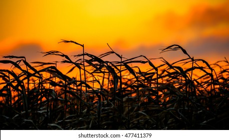 A field of corn in front of a beautiful Wisconsin sunset.