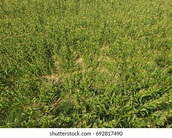Field of corn. Green corn blooms on the field. Period of growth and ripening of corn cobs - Shutterstock ID 692817490