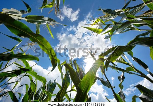 Field of corn, look from beneath