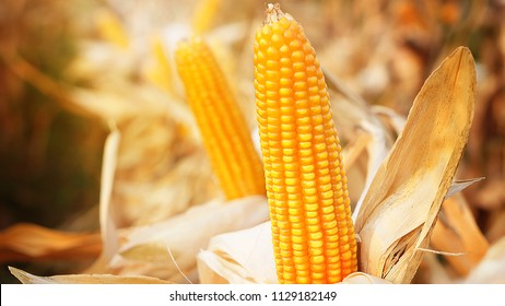 Field corn or Maize in Field at Dry Stage in Harvest Season, yellow/orange kernel closeup