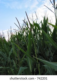 Field corn in mid to late Summer