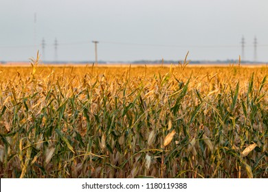 A field of corn on the Canadian Prairie