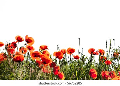 Field of Corn Poppy Flowers Papaver rhoeas in Spring isolated on white