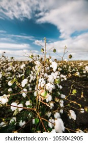 Field of cotton in the countryside ready for harvesting.