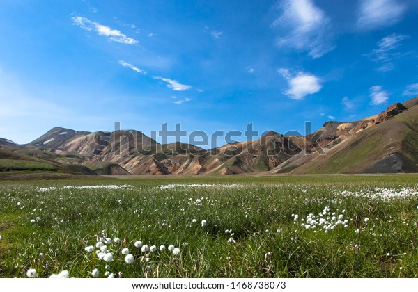 A field of cotton grass cotton white flowers(Eriophorum) in the grass against the blue sky and the beautiful mountains of Iceland in the summer on a sunny day.