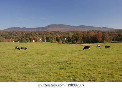 Field with a couple of cows, Stowe, Vermont, USA
