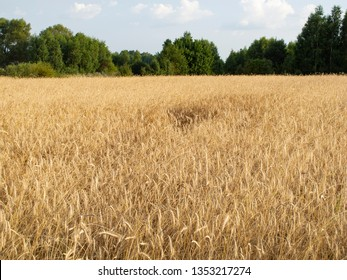 field covered with wheat, a beautiful summer landscape