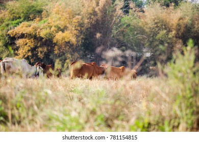 Field cow  Animal husbandry