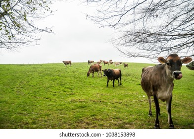 Field of cows in the UK, England.