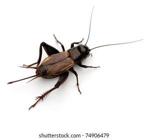 Field Cricket (Gryllus)