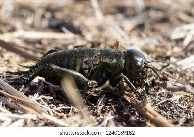 The field cricket, Gryllus campestris, macro. Black cricket on the eath