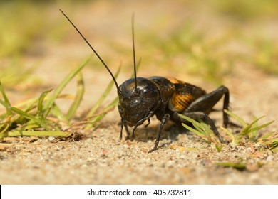 The field cricket - Gryllus campestris on the eath. Black cricket on the brown bright clay.
