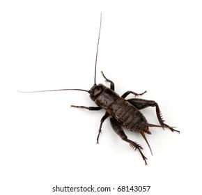 Field Cricket (Gryllus) isolated