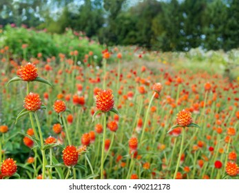 A field of cultivated Strawberry Fields Gomphrena flowers, also known as Globe Amaranth, with wildflowers and trees in the background.