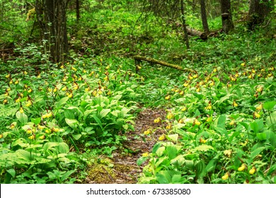 Field of Cypripedium calceolus or a ladys slipper orchid. Sweden