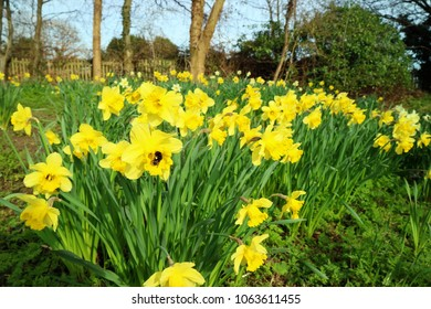 A field of Daffodils being fertilised by a bumbling bee around the spring time.  The flowers are being flooded with glorious sunshine.