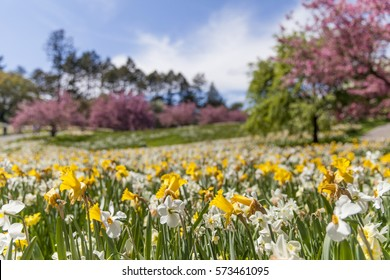 Field of daffodils during the spring season