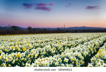 A field of Daffodils growing on a farm in Cornwall