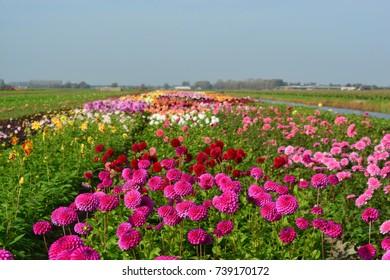 Field of Dahlia flowers