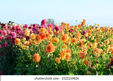field of dahlia flowers orange and red colorful in  late summer blue sky background