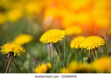 Field of dandelion and perfect sunny day