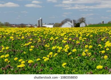 Field of dandelion and purple deadnettle