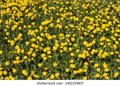 field of dandelion, taraxacum, blowball yellow flowers
