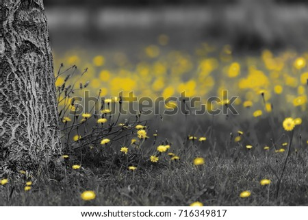 Field Of Dandelions In Black And White With The Yellow Flower Heads Color Splash Grey