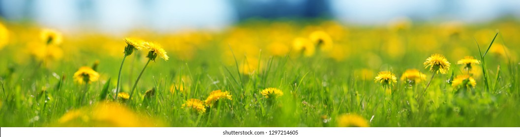 Field with dandelions. Closeup of yellow spring flowers