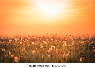 Field of dandelions during sunset