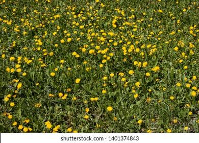 field of dandelions, taraxacum, blowball and grass