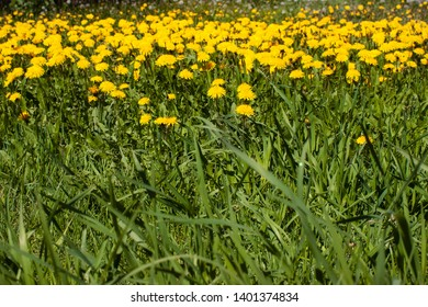 field of dandelions,  taraxacum, blowball spring yellow