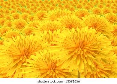 Field of dandelions yellow flowers