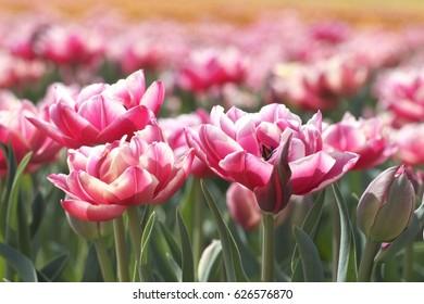 Field of dark pink tulips